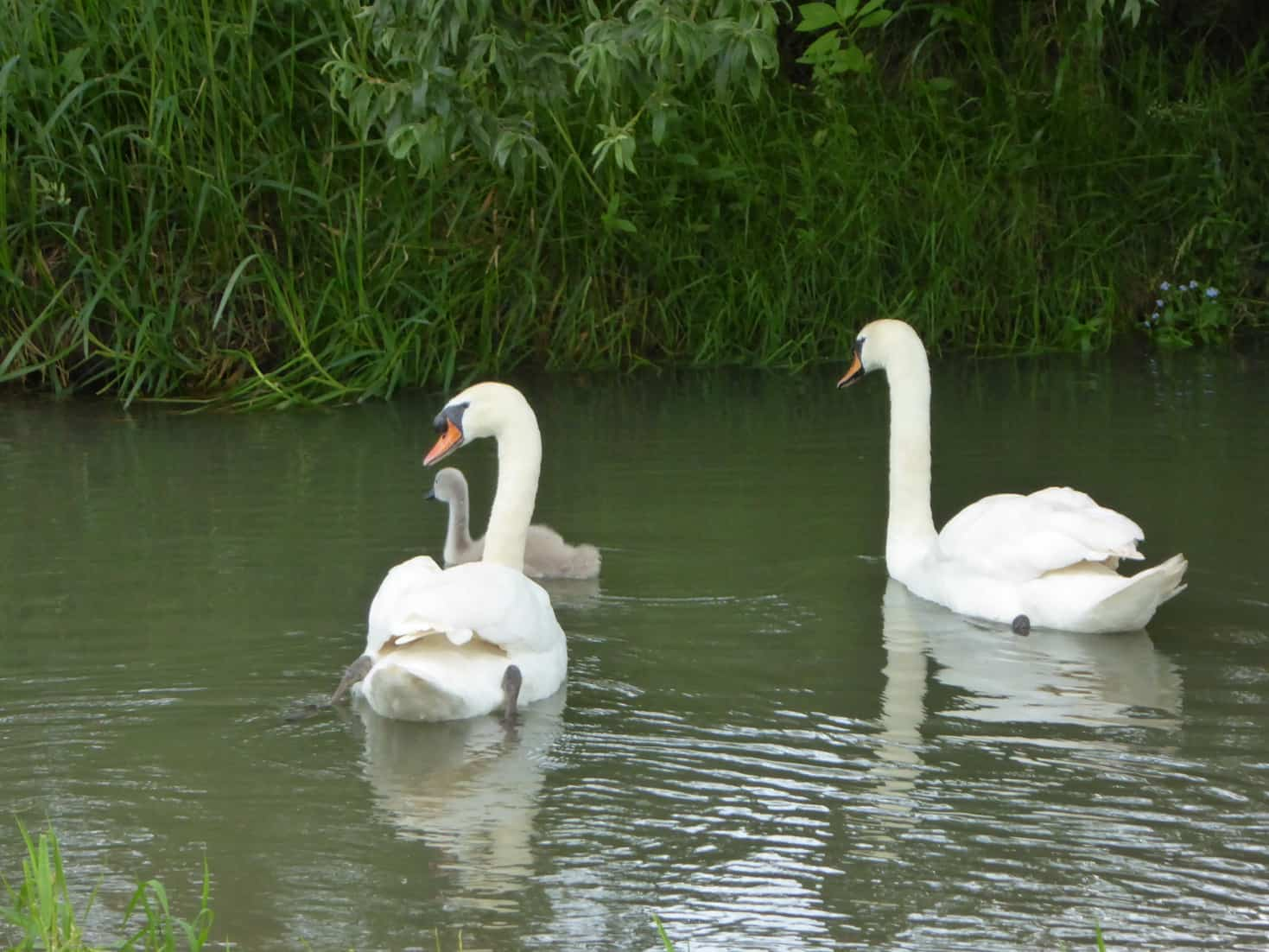 Swans on the river Evenlode